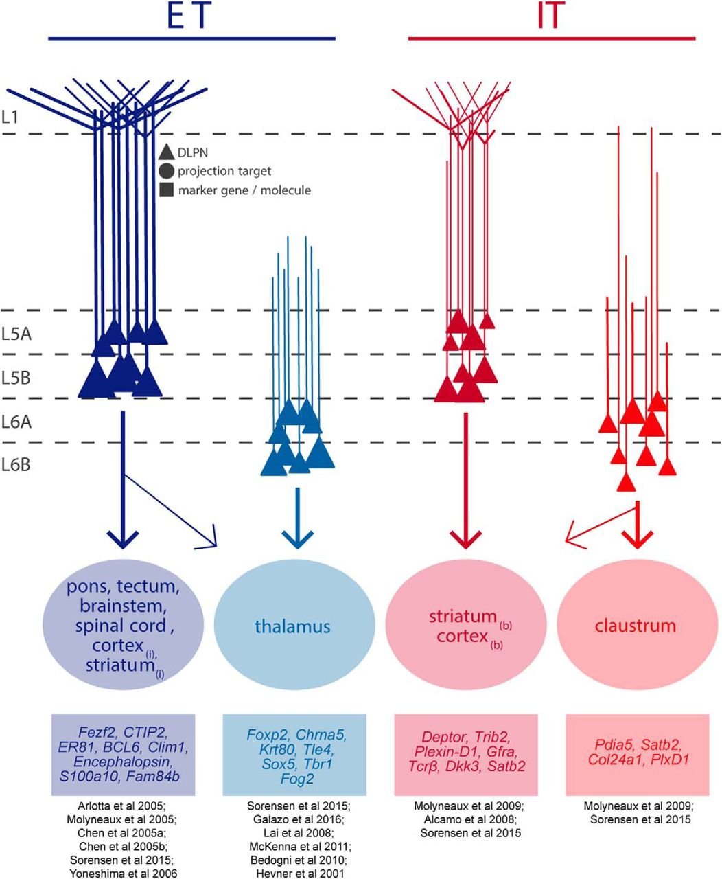 Specialized Subpopulations of Deep-Layer Pyramidal Neurons