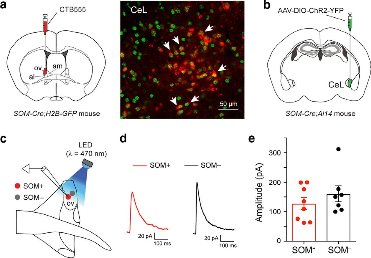 A Central Extended Amygdala Circuit That Modulates Anxiety Journal Board Virus Text Stock Image Download Figure