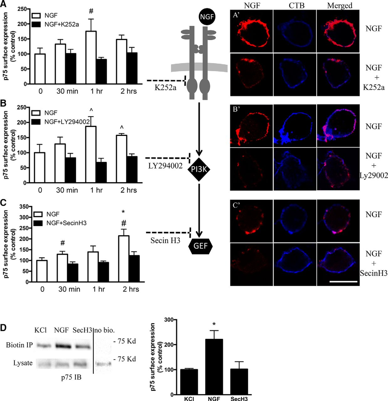 c4c9b29d6796 Neurotrophin Responsiveness of Sympathetic Neurons Is Regulated by ...