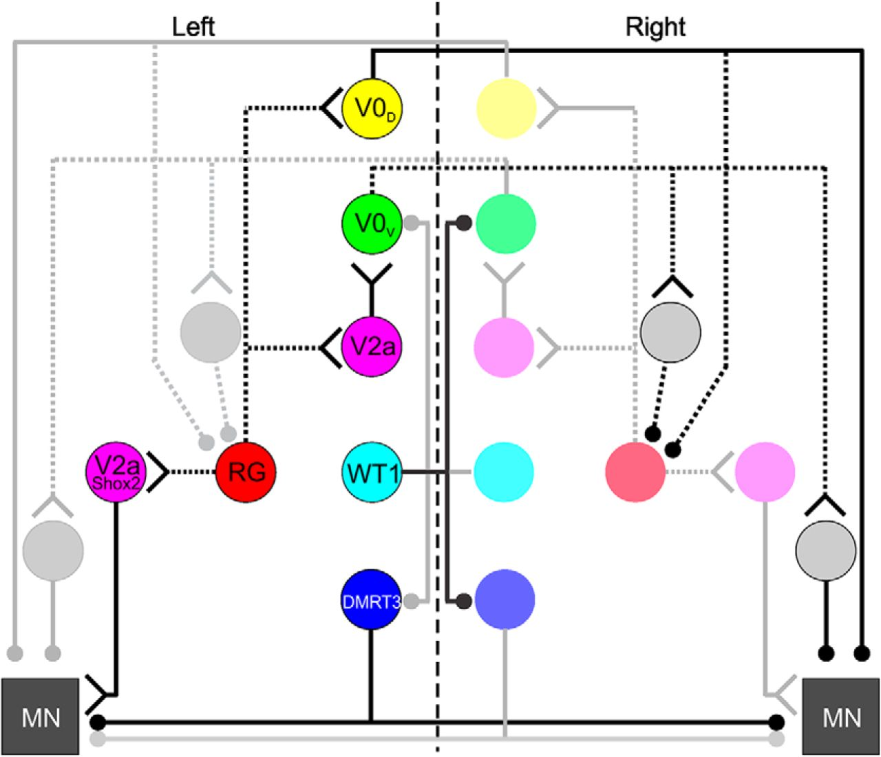 Wt1 Expressing Interneurons Regulate Leftright Alternation During Diagram 7 Stepping To The Left Full Size Download Figure