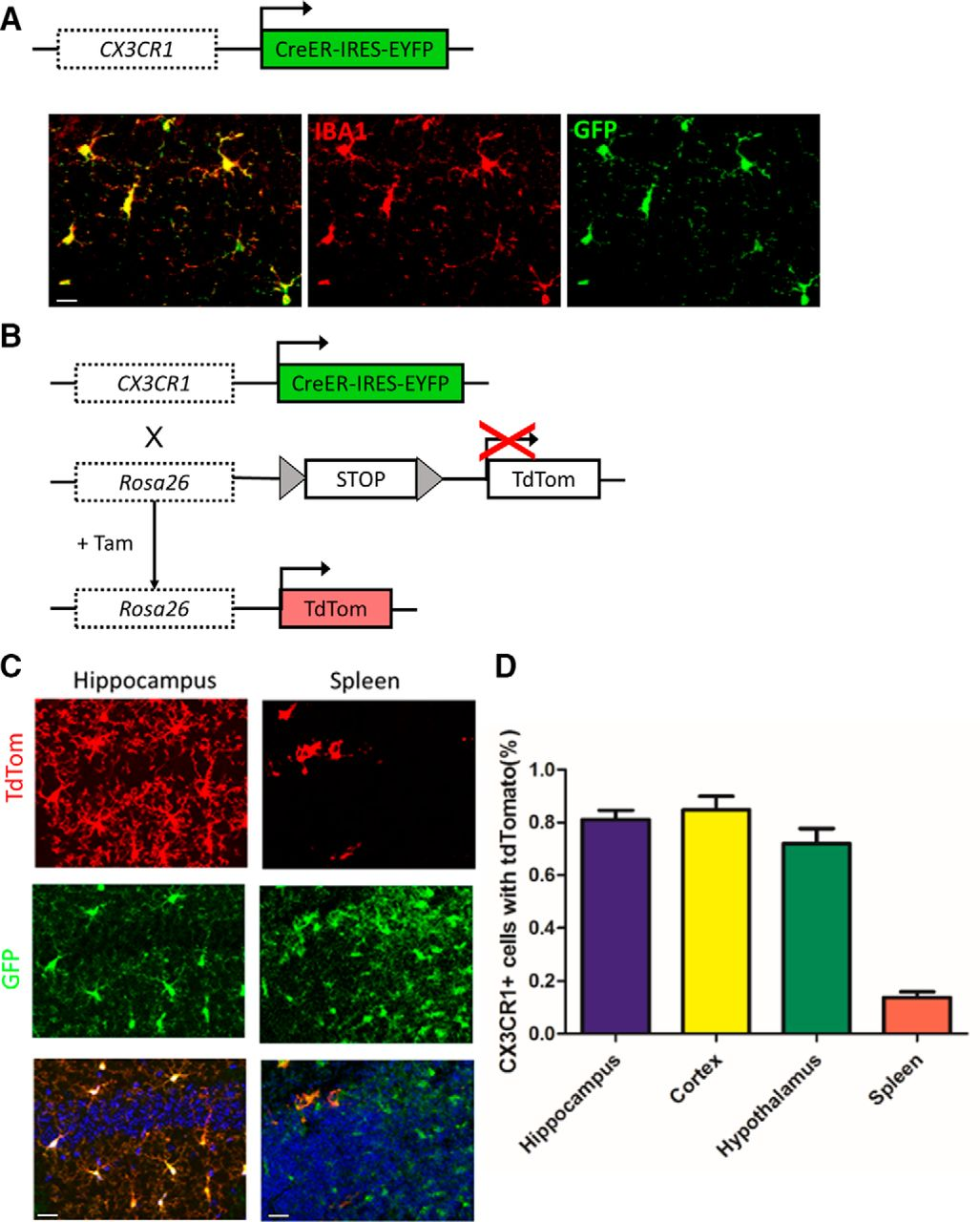 Increased Microglial Activity, Impaired Adult Hippocampal