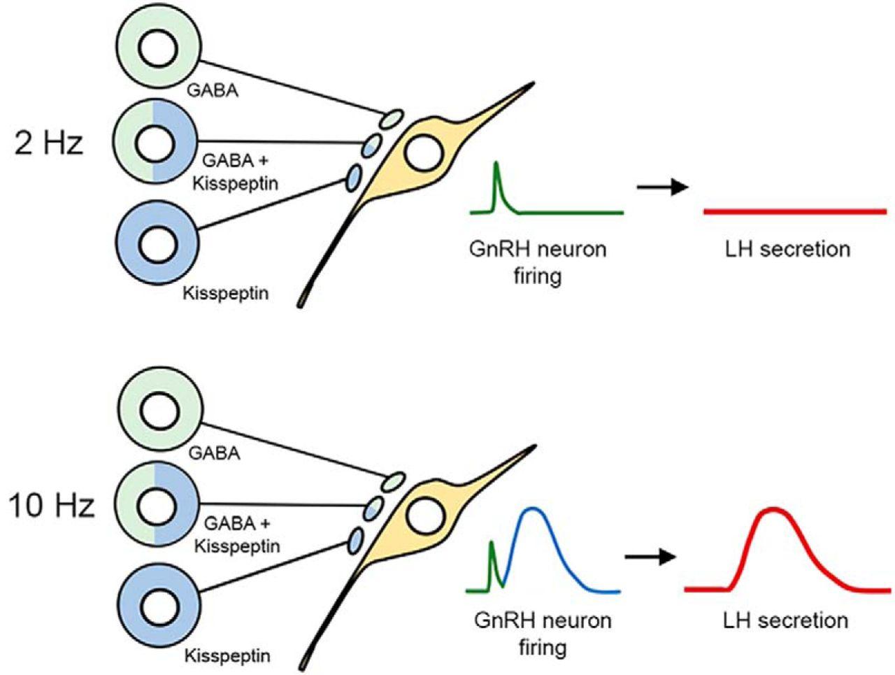 Dominant Neuropeptide Cotransmission In Kisspeptin Gaba Regulation Lowlevel Am Transmitter Block Diagram Download Figure