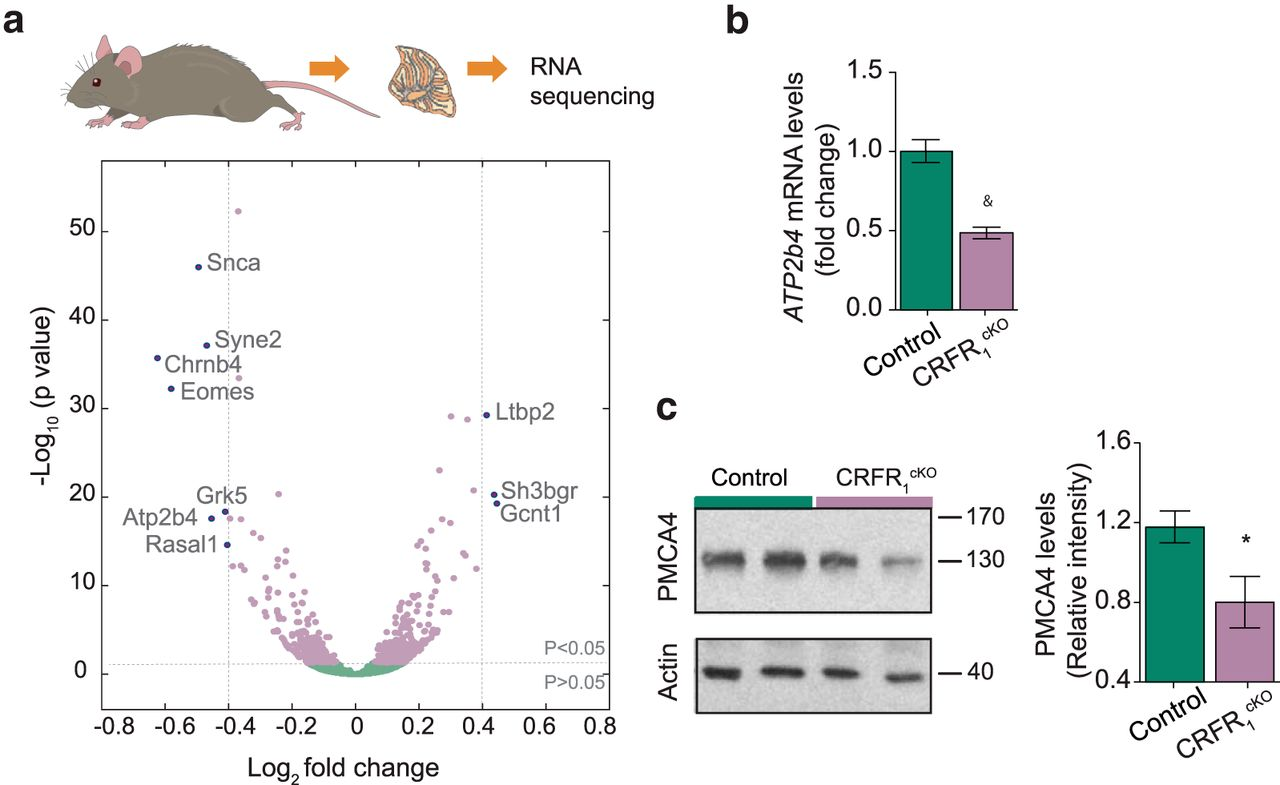 Cerebellar Learning Properties Are Modulated by the CRF