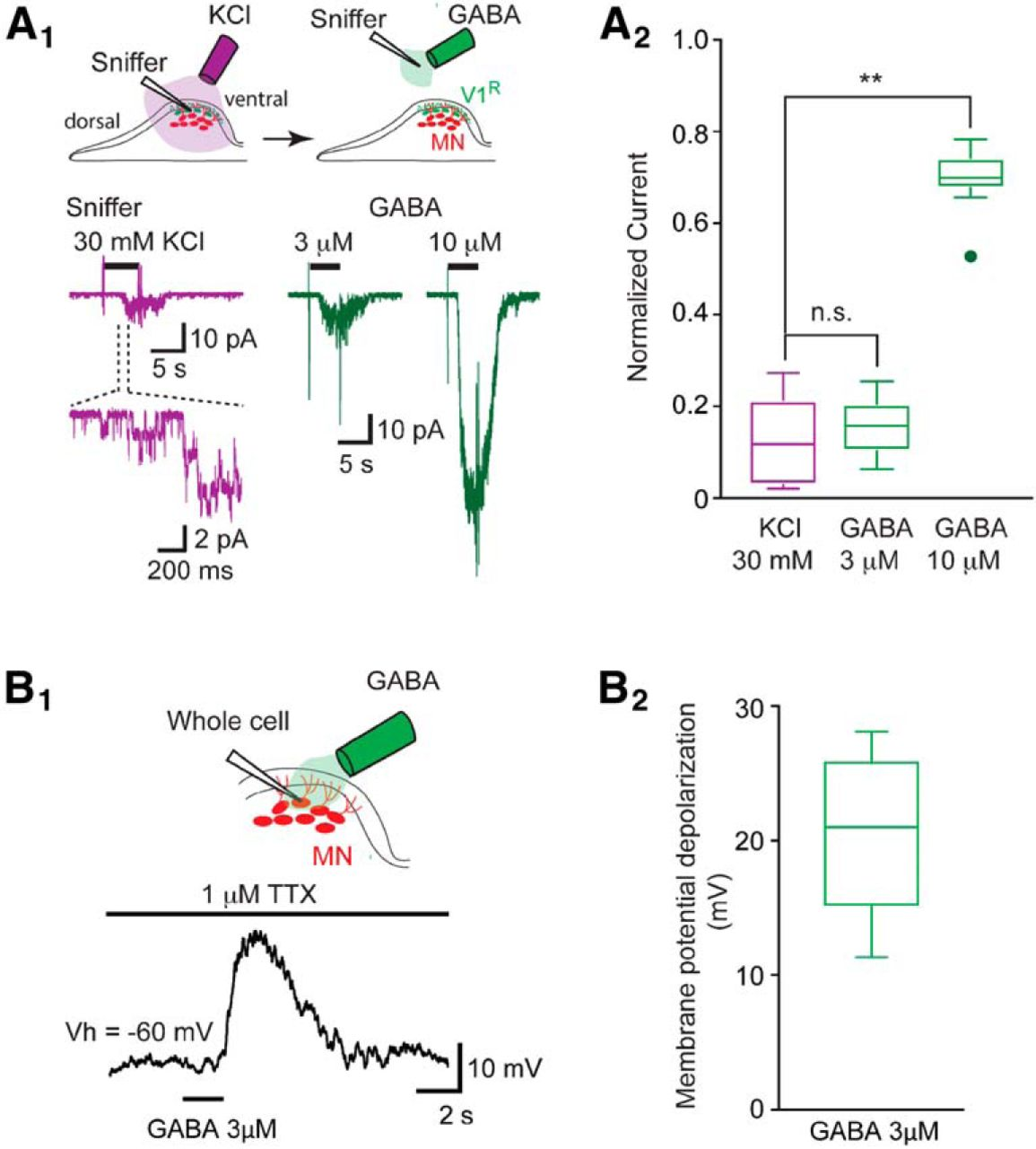 persistent sodium current drives excitability of immature renshaw