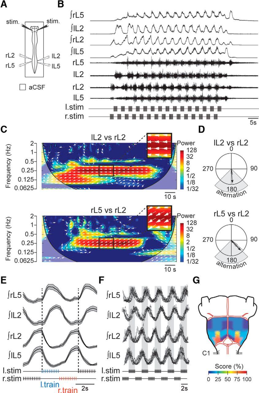 Brainstem Steering of Locomotor Activity in the Newborn Rat