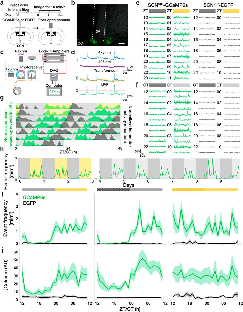 SCN VIP Neurons Are Essential for Normal Light-Mediated