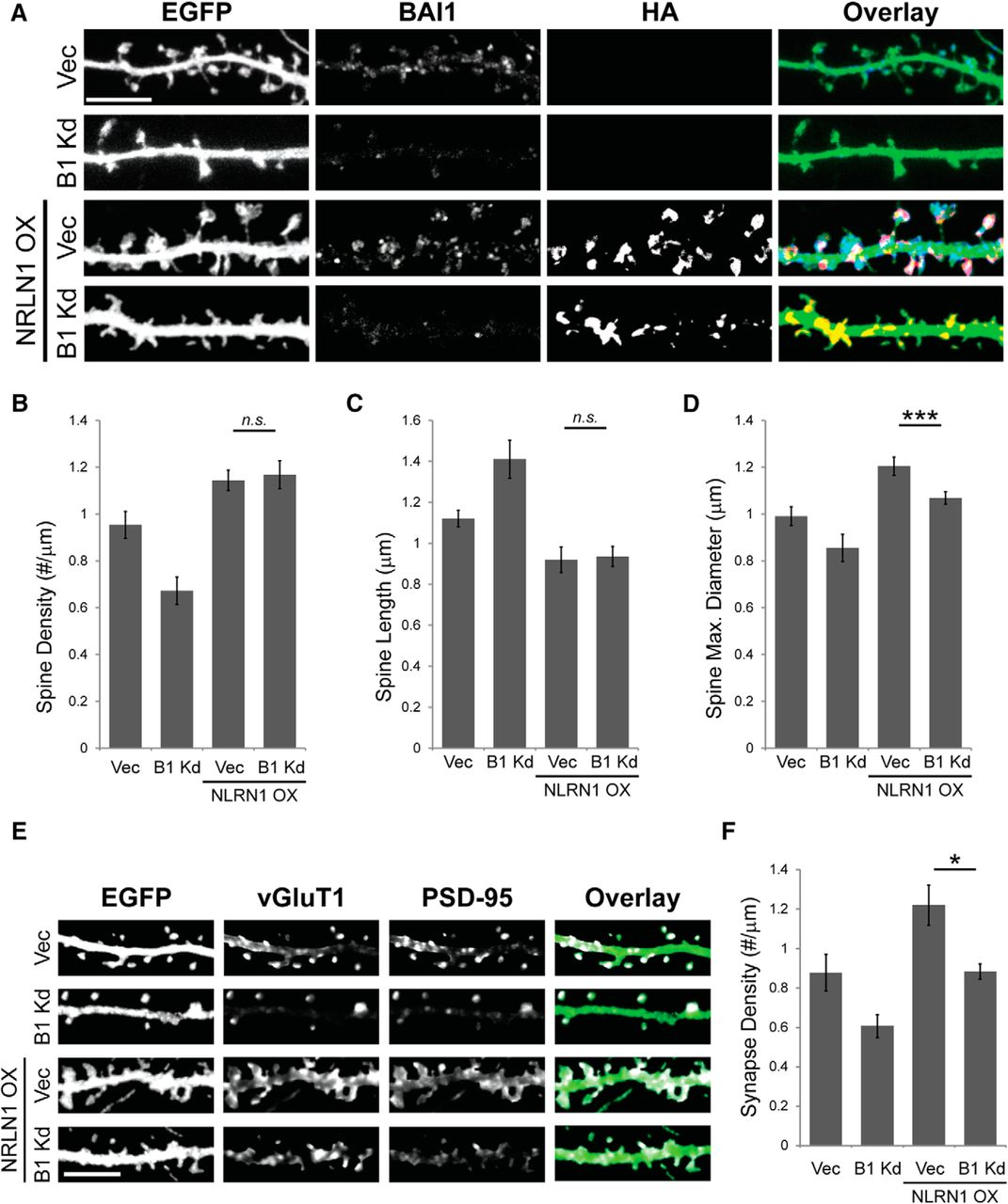 The Adhesion-GPCR BAI1 Promotes Excitatory Synaptogenesis by