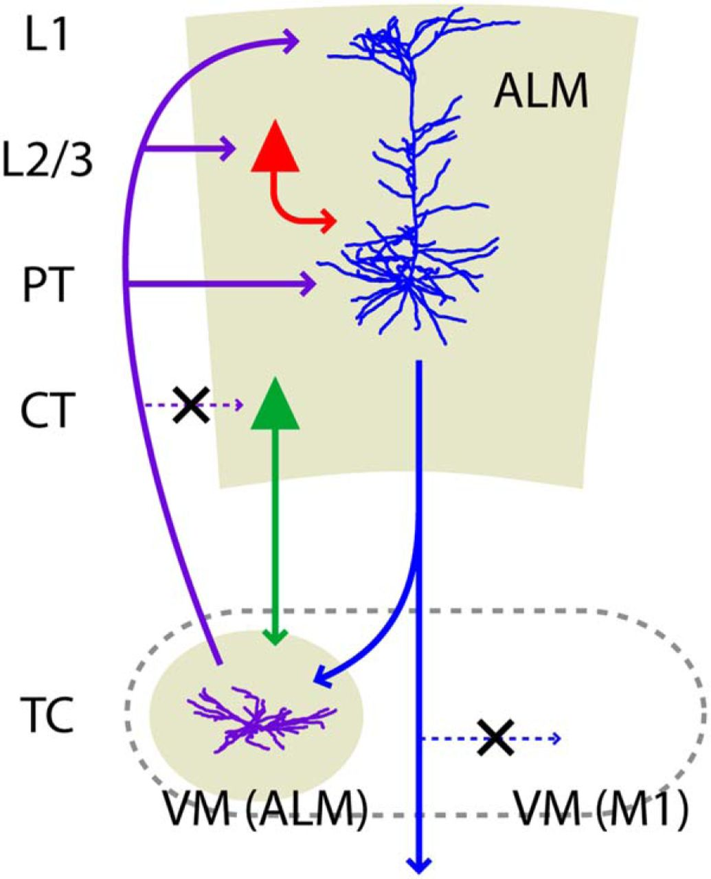 Anterolateral Motor Cortex Connects With A Medial Subdivision Of Wiring Diagram Besides Cat 5 Cable On Goodman Download Figure Open In New Tab Powerpoint 8 Schematic Summary Key Connections