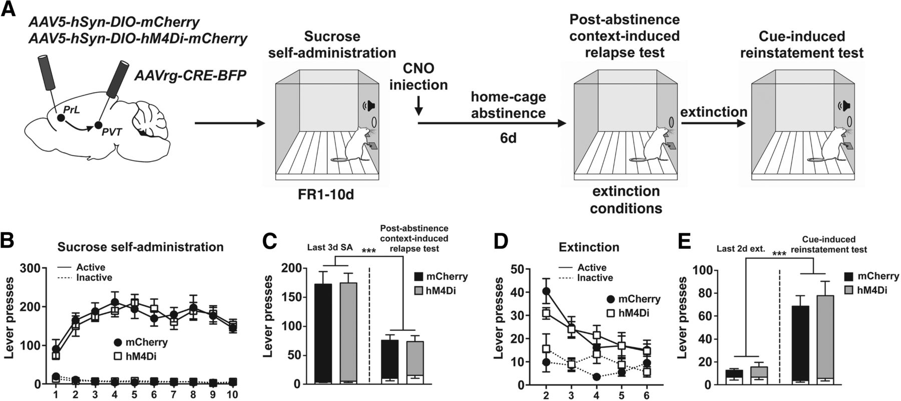 Divergent Prelimbic Cortical Pathways Interact with BDNF to