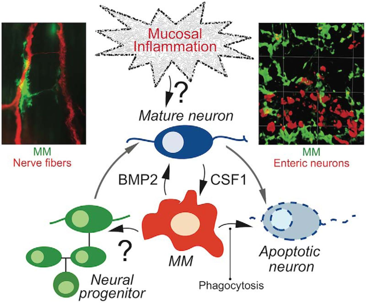 """Advances in Enteric Neurobiology: The """"Brain"""" in the Gut in"""