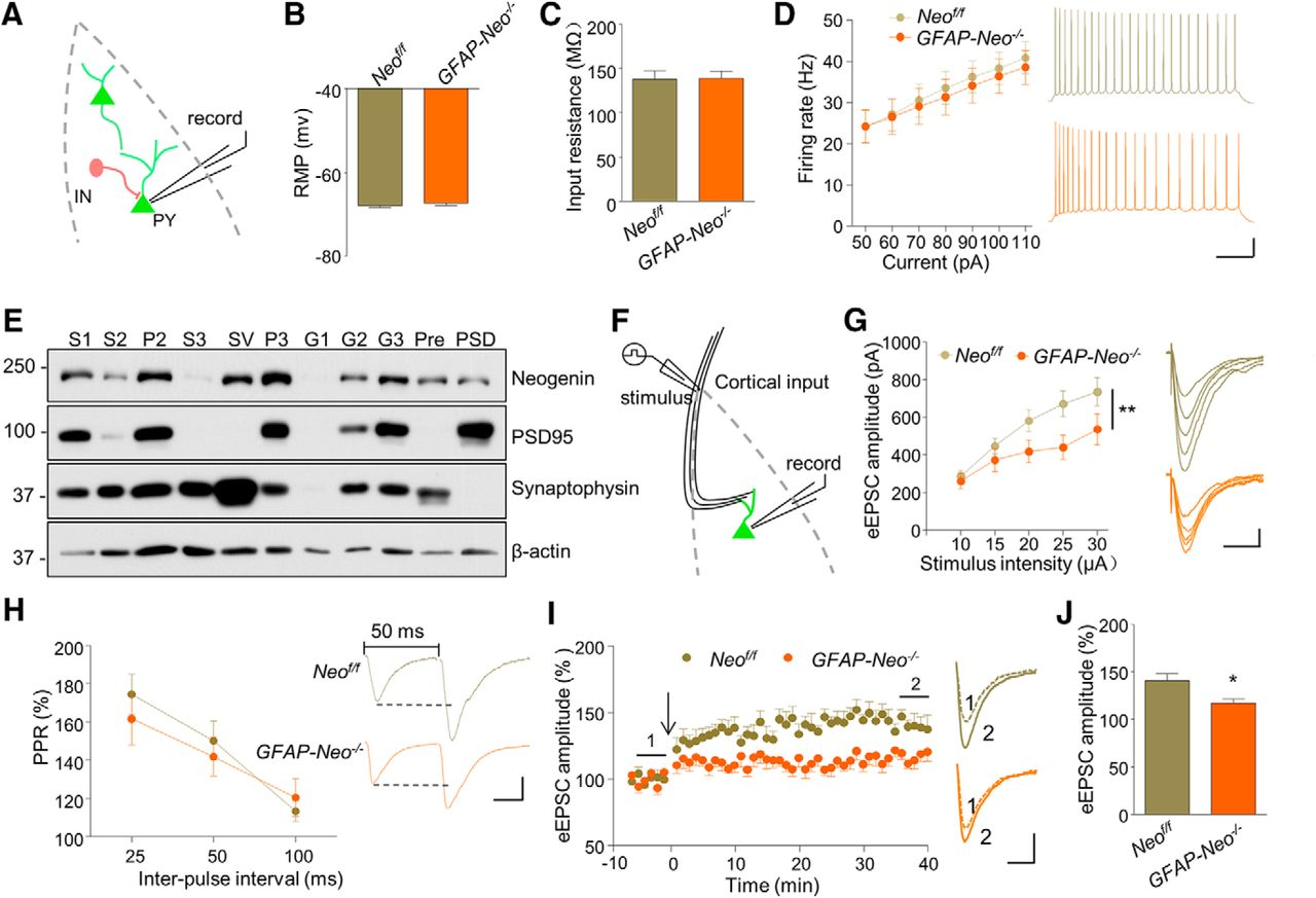Neogenin in Amygdala for Neuronal Activity and Information