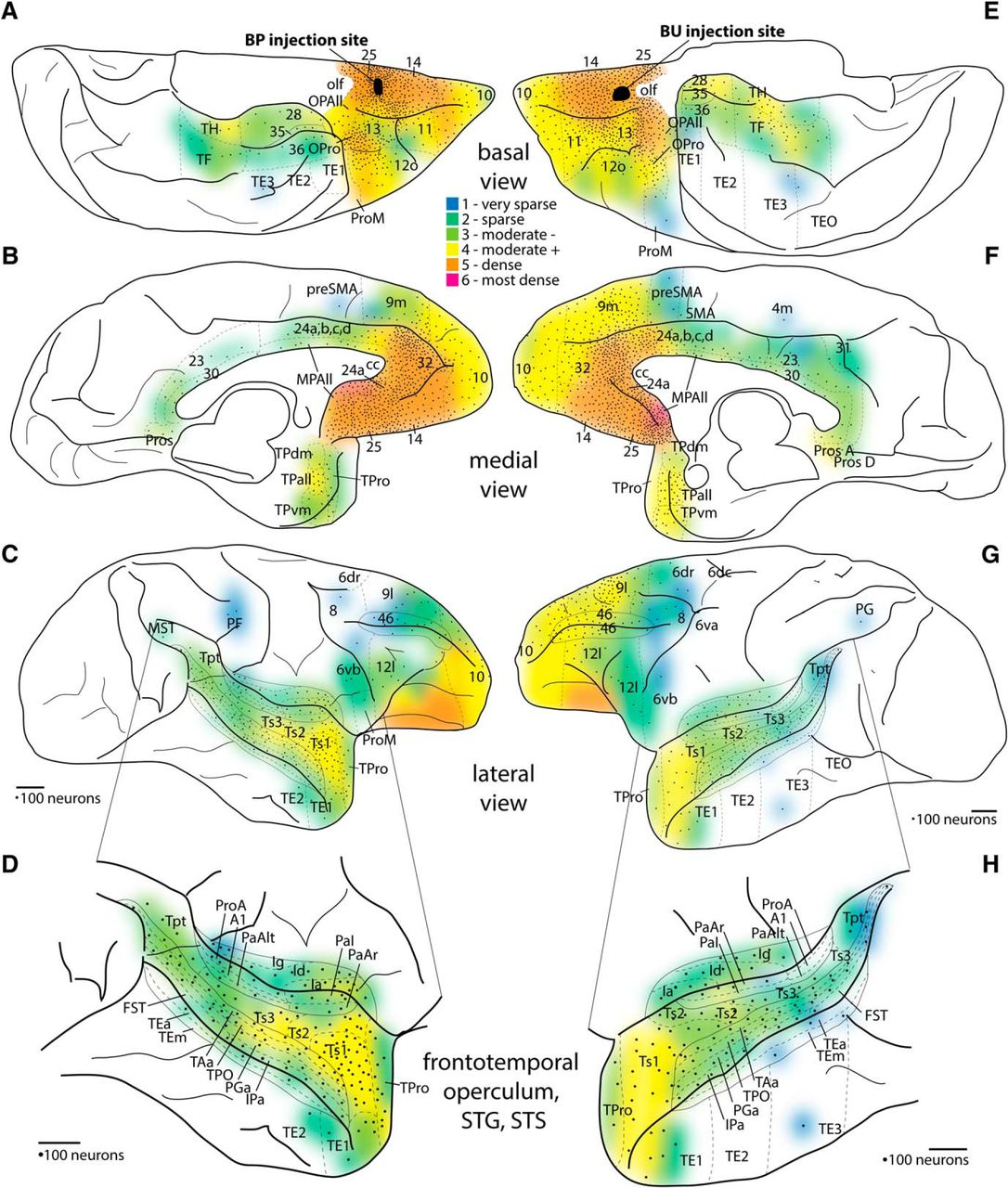 Cortical connections position primate area 25 as a keystone for download figure publicscrutiny Image collections