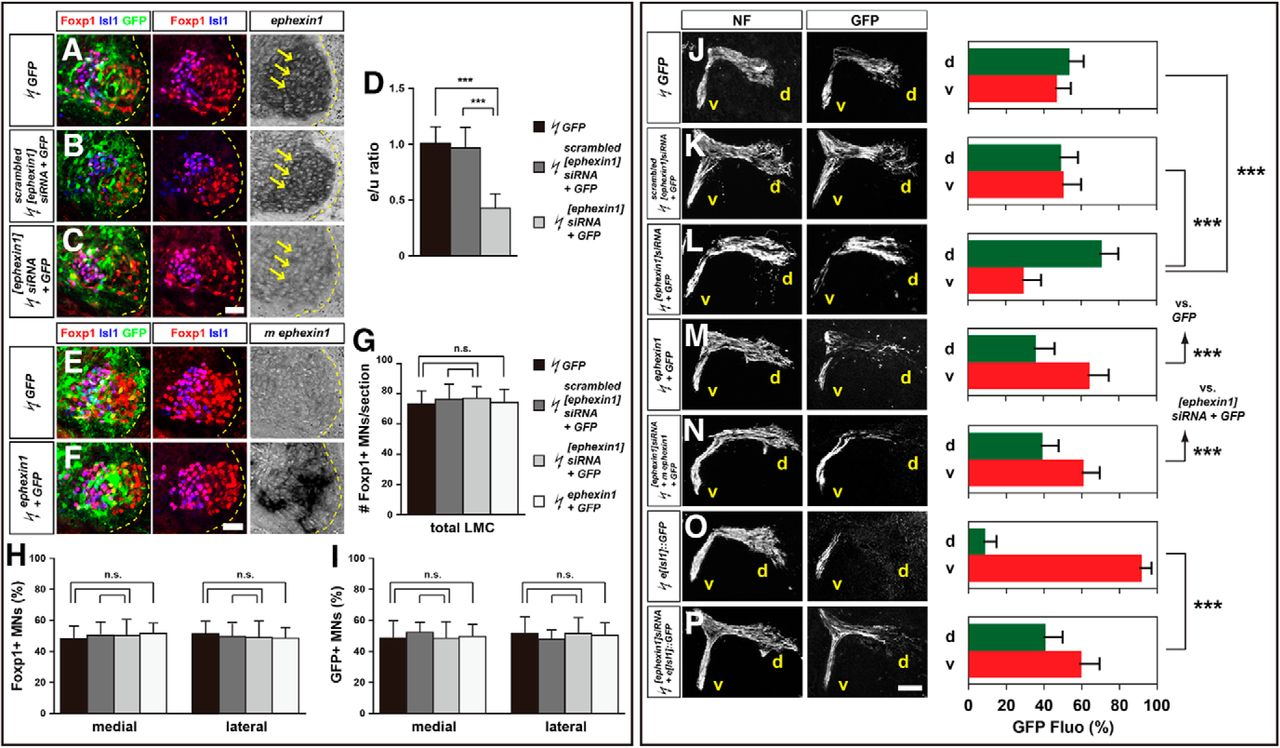 ephexin1 is required for eph mediated limb trajectory of spinal