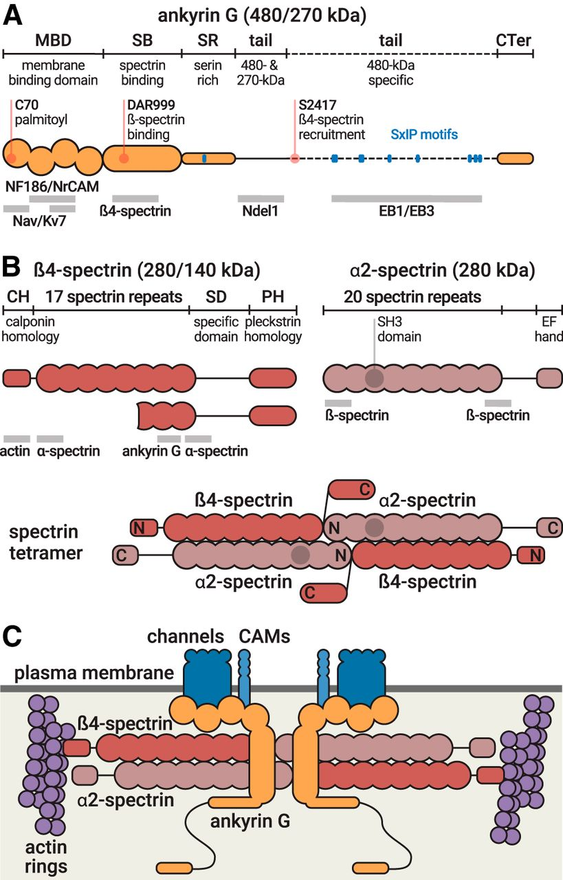 The Axon Initial Segment: An Updated Viewpoint   Journal of