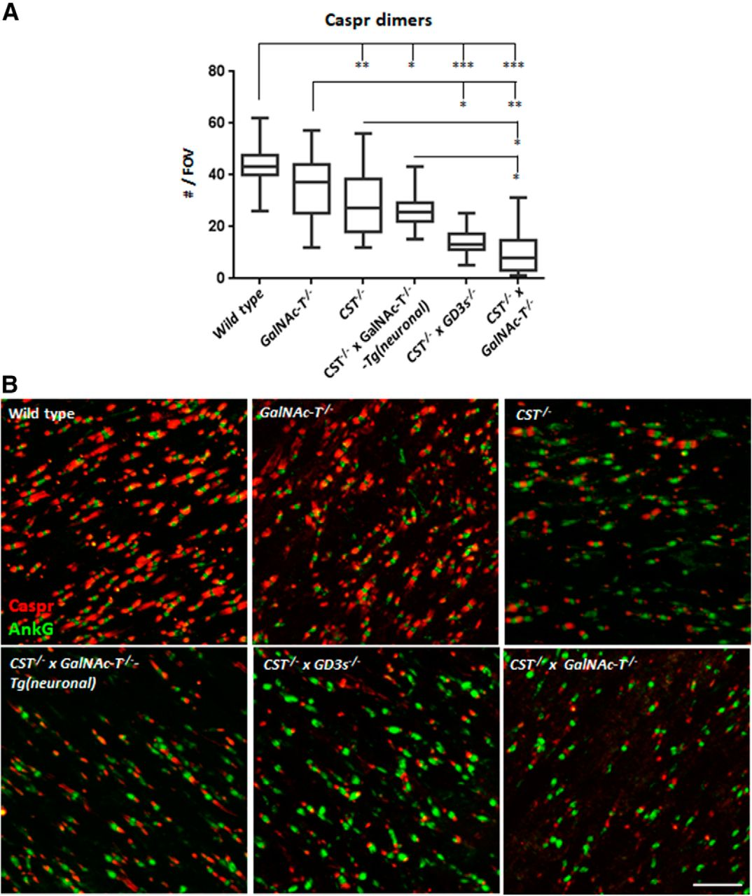 Research Identifies Complex Of Neurons >> Glial Sulfatides And Neuronal Complex Gangliosides Are Functionally