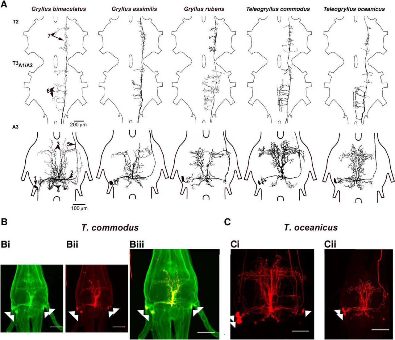 Structure, Activity and Function of a Singing CPG Interneuron