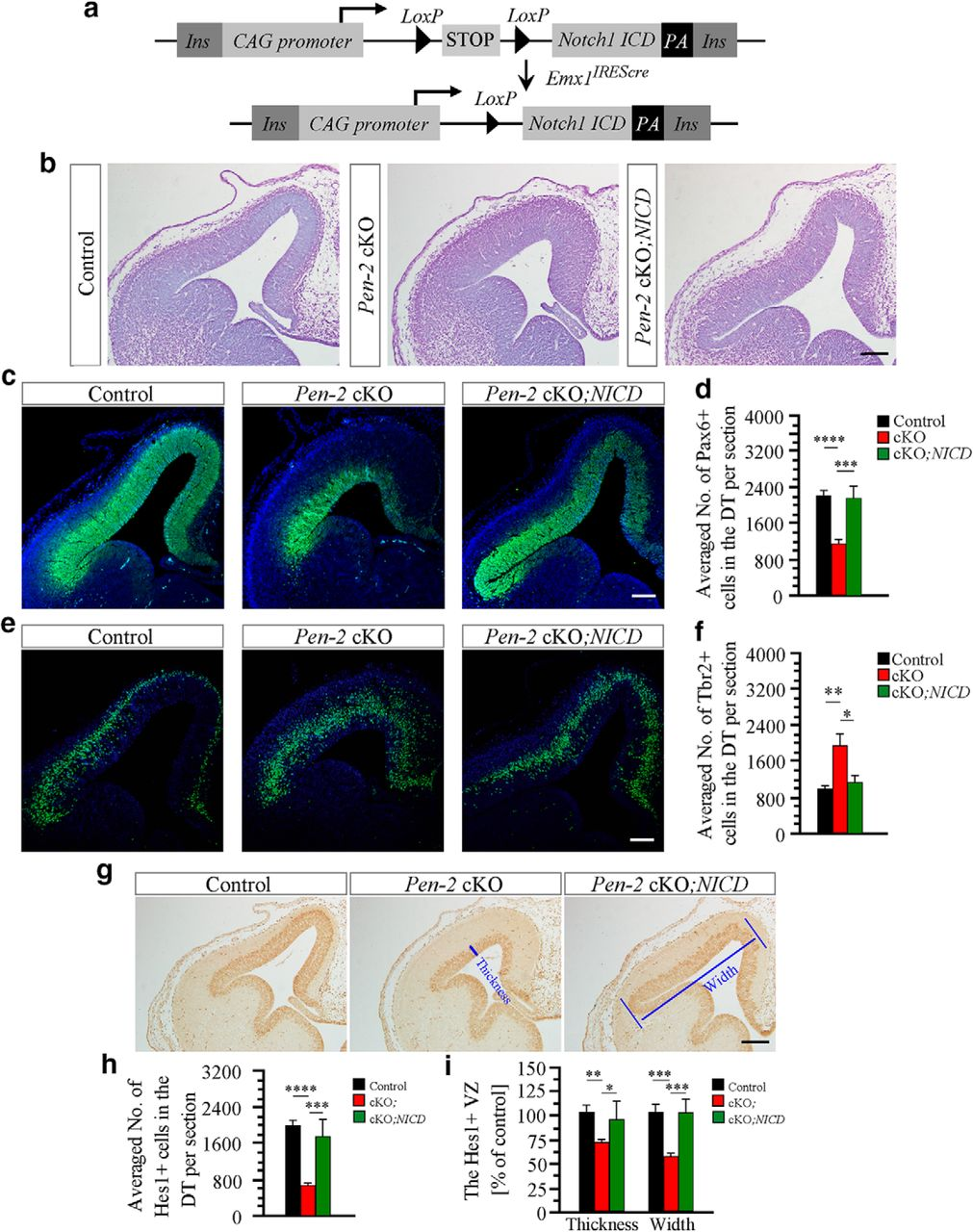 Conditional Inactivation of Pen-2 in the Developing Neocortex Leads