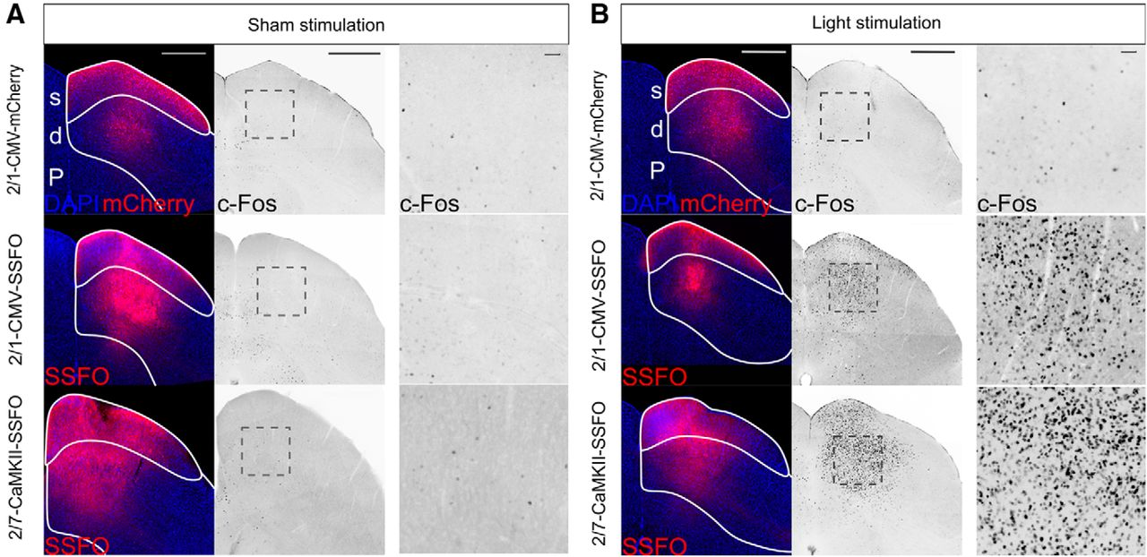 Optogenetic Stimulation of the Superior Colliculus Confers