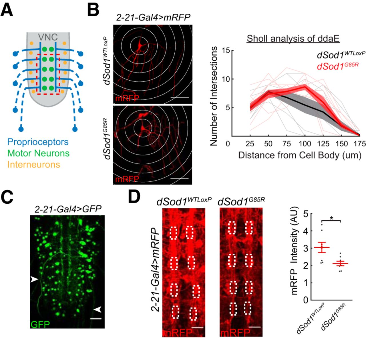 8dd0195f01e3 Circuit Dysfunction in SOD1-ALS Model First Detected in Sensory ...