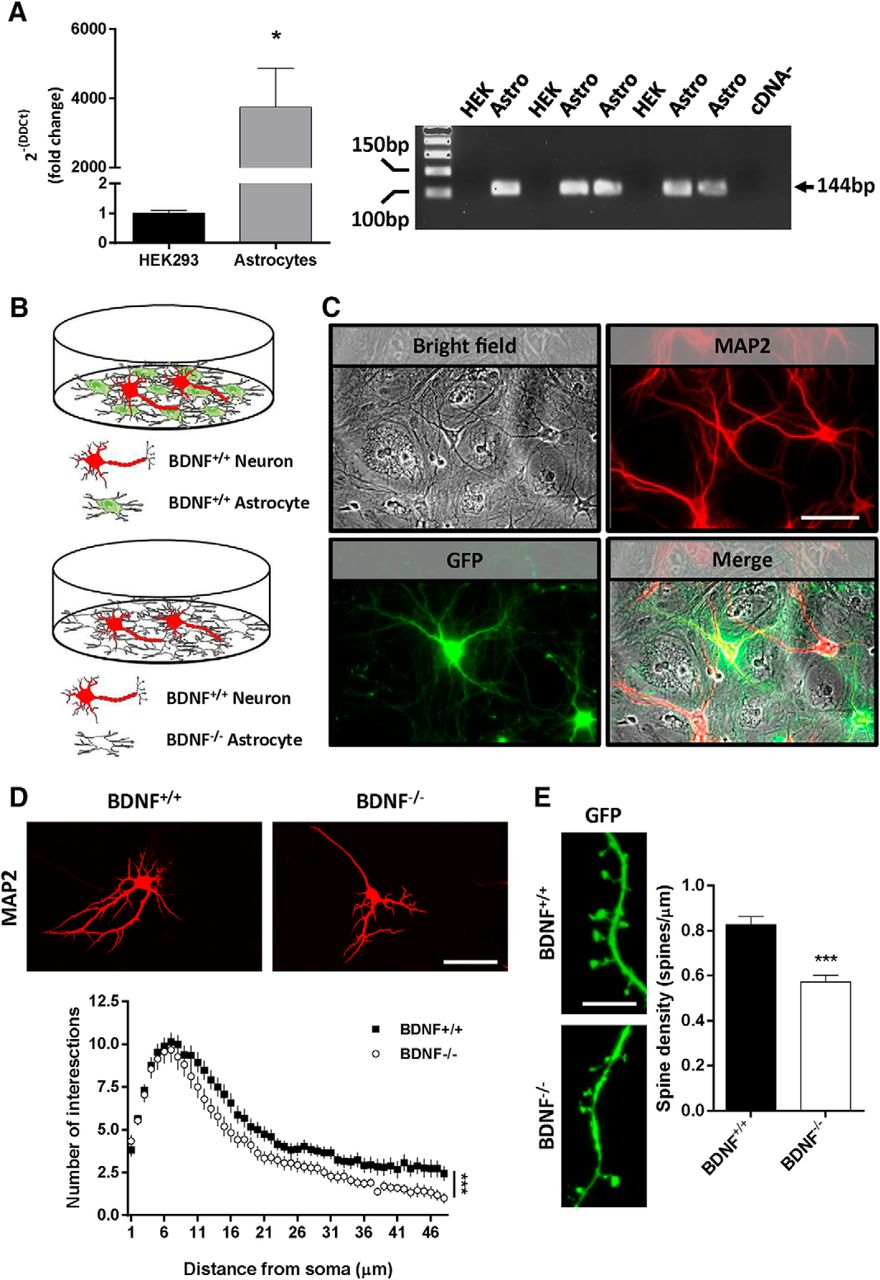 Conditional BDNF Delivery from Astrocytes Rescues Memory Deficits