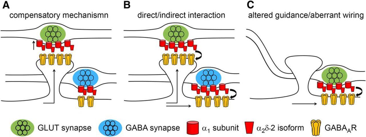 Presynaptic α2δ-2 Calcium Channel Subunits Regulate Postsynaptic on