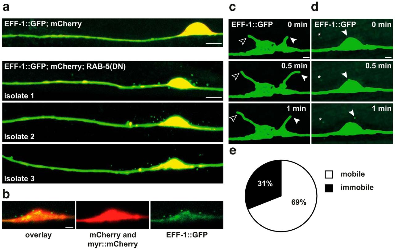 Disruption of RAB-5 Increases EFF-1 Fusogen Availability at the Cell