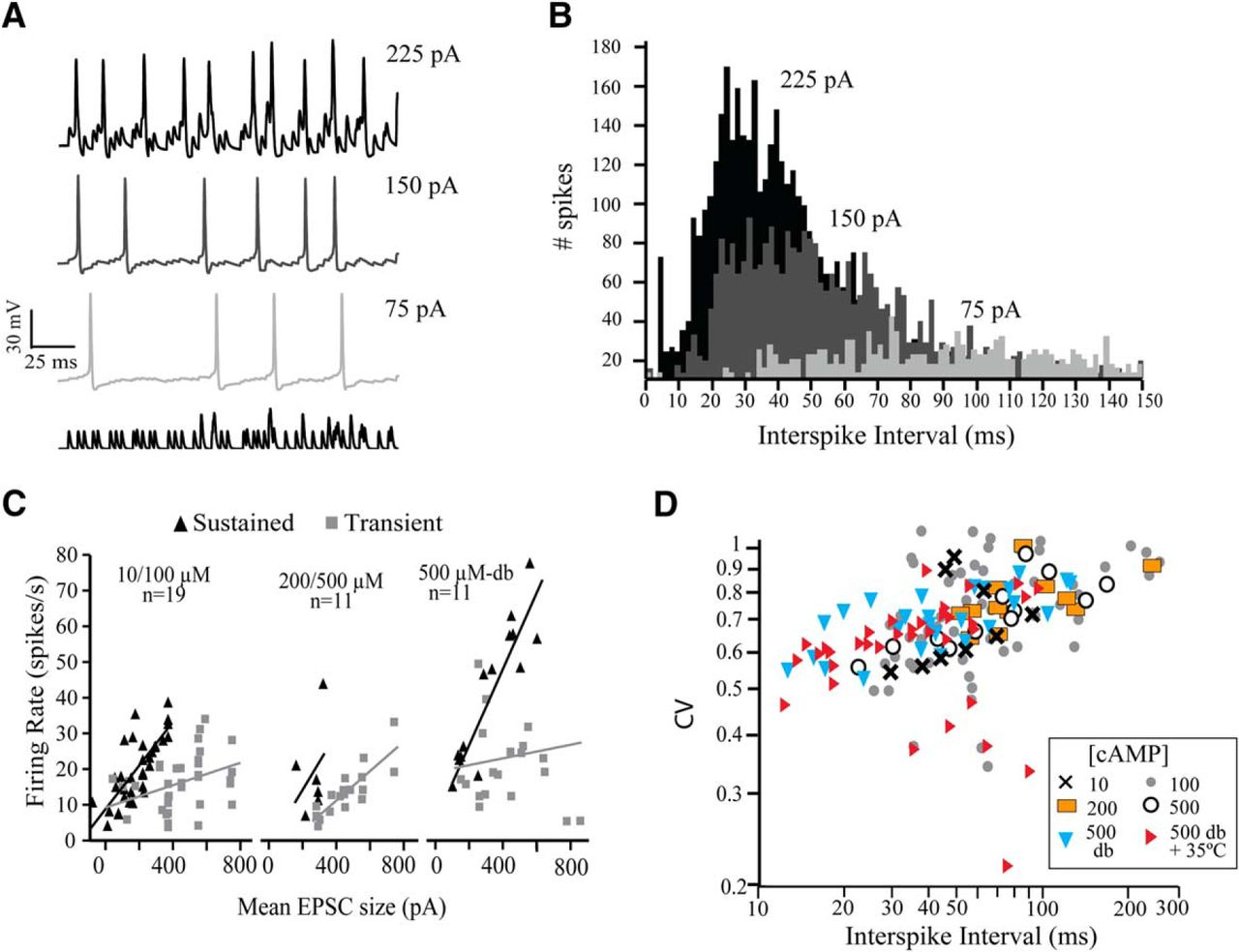 Enhanced Activation of HCN Channels Reduces Excitability and Spike