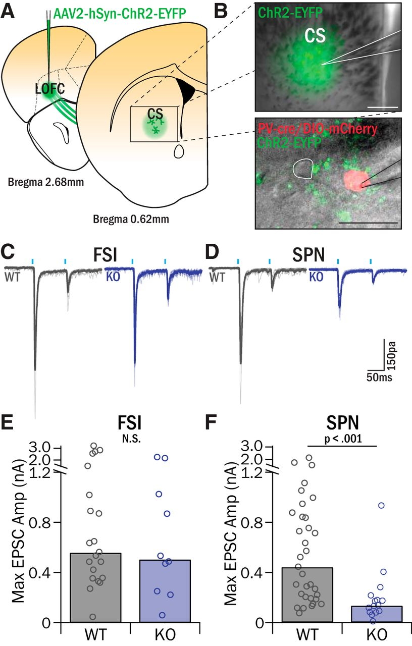 Strengthened Inputs from Secondary Motor Cortex to Striatum