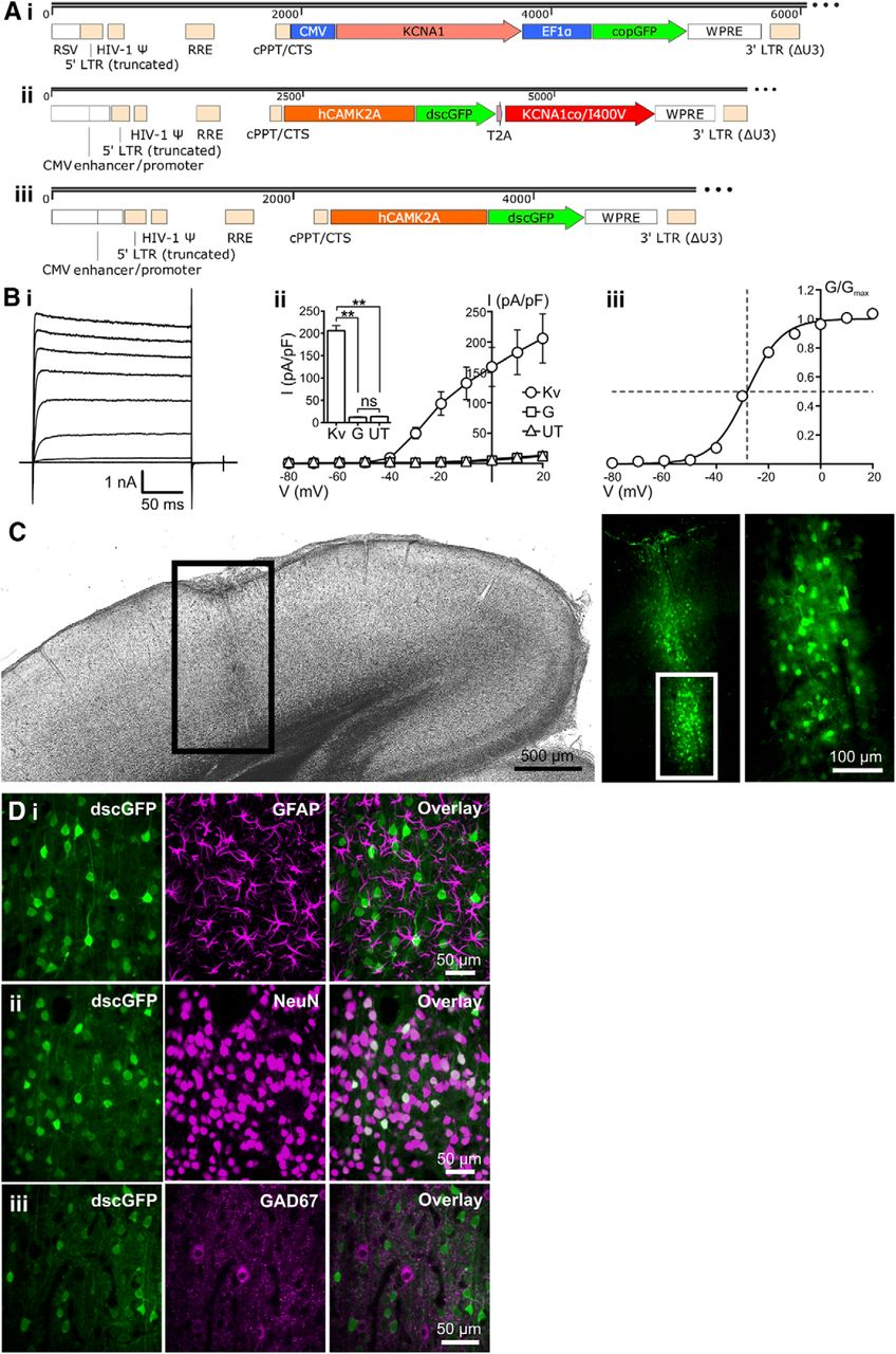 Epilepsy Gene Therapy Using an Engineered Potassium Channel