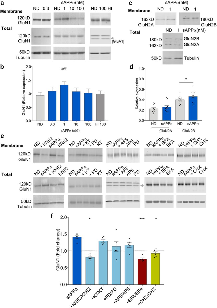 Glutamate Receptor Trafficking and Protein Synthesis Mediate