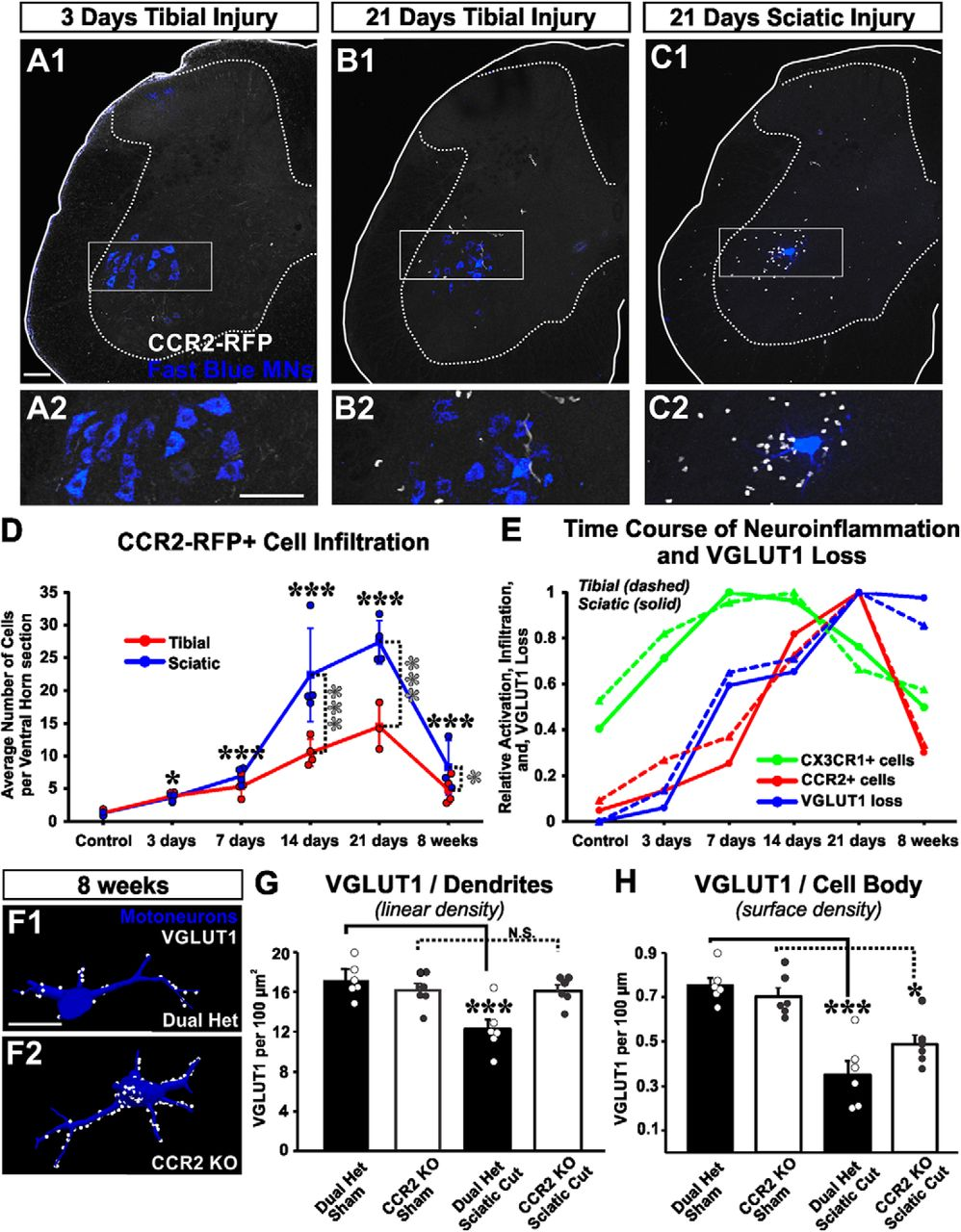 Spinal Motor Circuit Synaptic Plasticity after Peripheral