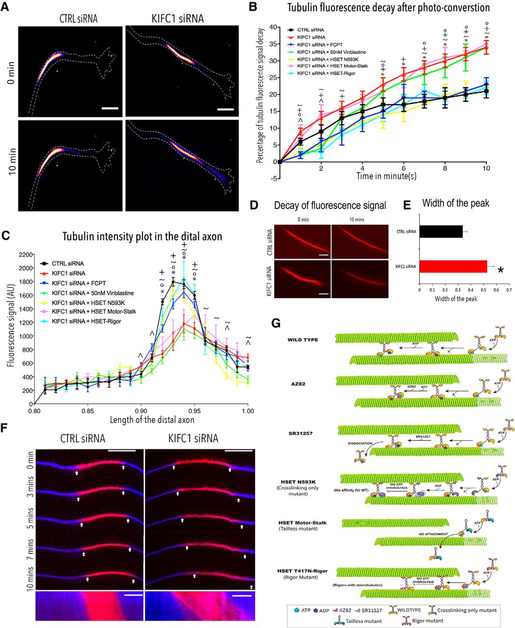 Mitotic Motor KIFC1 Is an Organizer of Microtubules in the