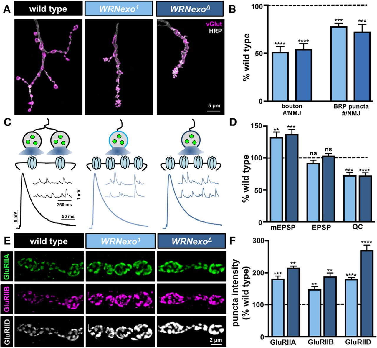 A Screen for Synaptic Growth Mutants Reveals Mechanisms That