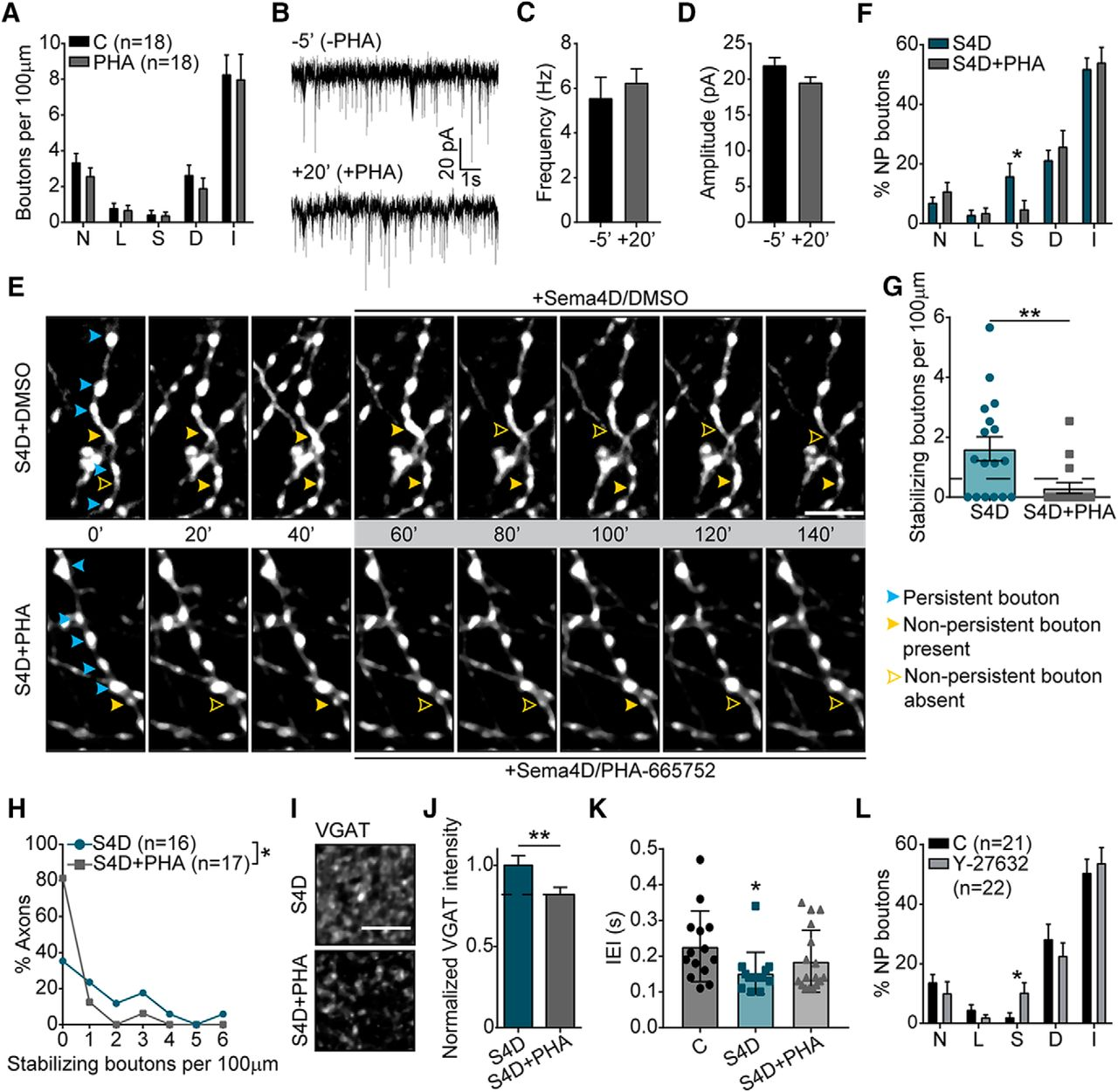 Semaphorin4D Induces Inhibitory Synapse Formation by Rapid