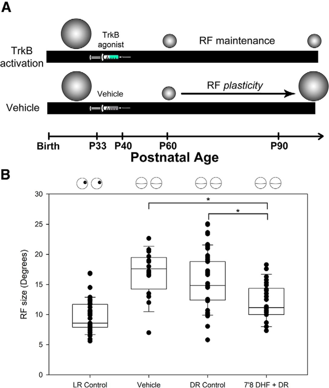 TrkB Activation during a Critical Period Mimics the