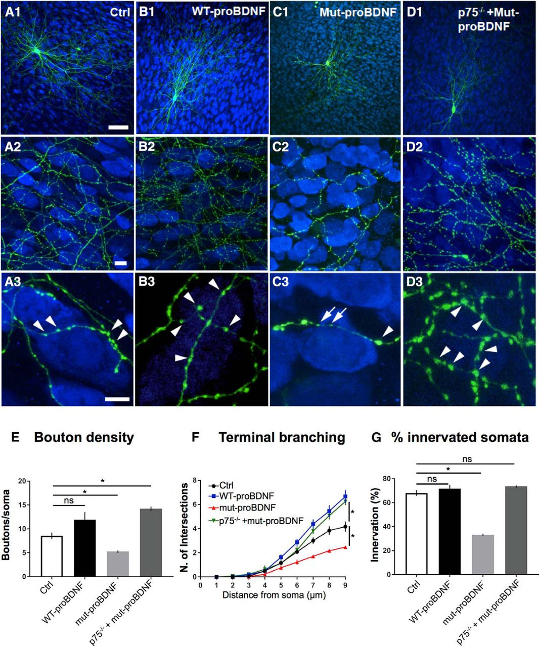 p75 Neurotrophin Receptor Activation Regulates the Timing of the