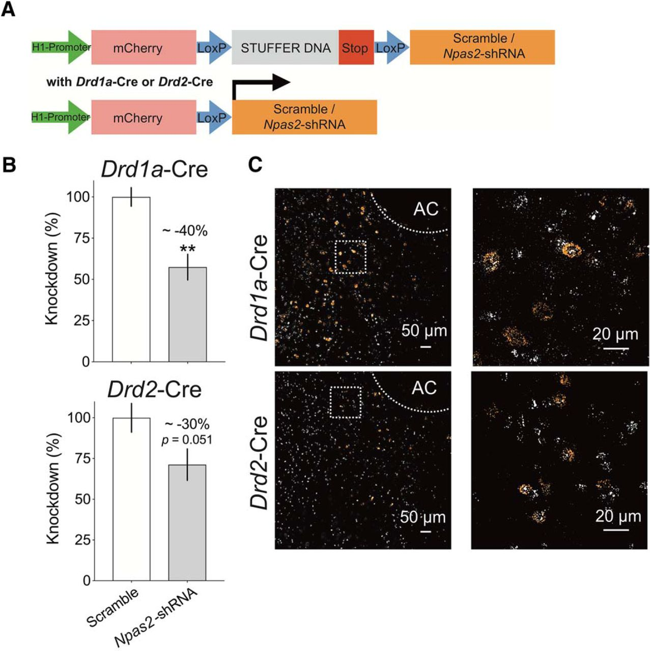 Cell-Type-Specific Regulation of Nucleus Accumbens Synaptic