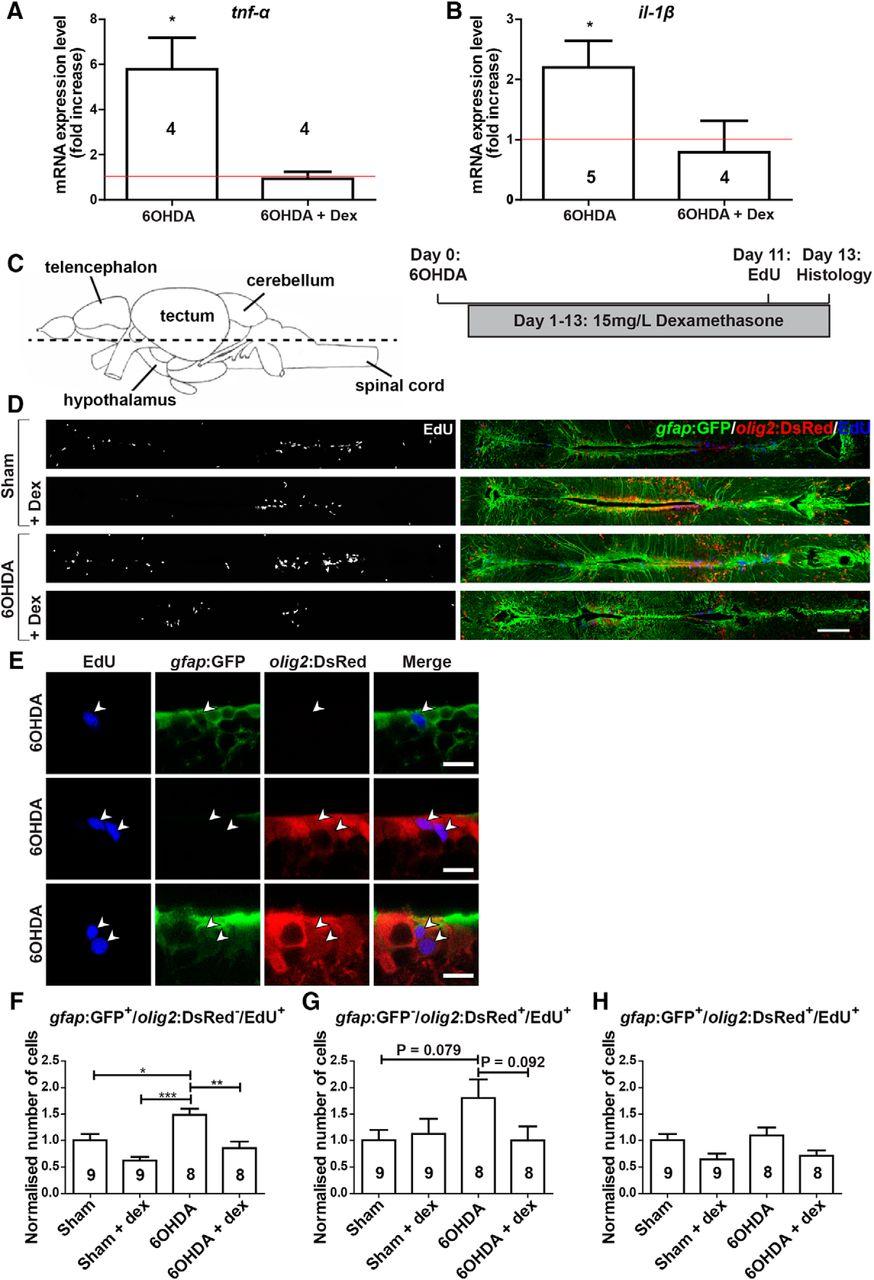 Regeneration of Dopaminergic Neurons in Adult Zebrafish