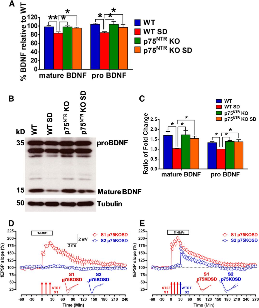 The p75 Neurotrophin Receptor Is an Essential Mediator of