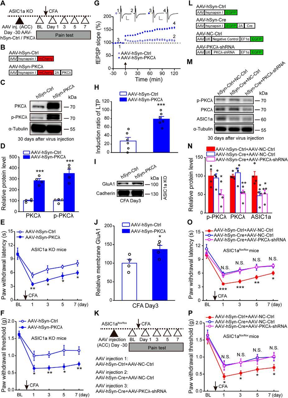 Protein Kinase C Lambda Mediates Acid-Sensing Ion Channel 1a ... on