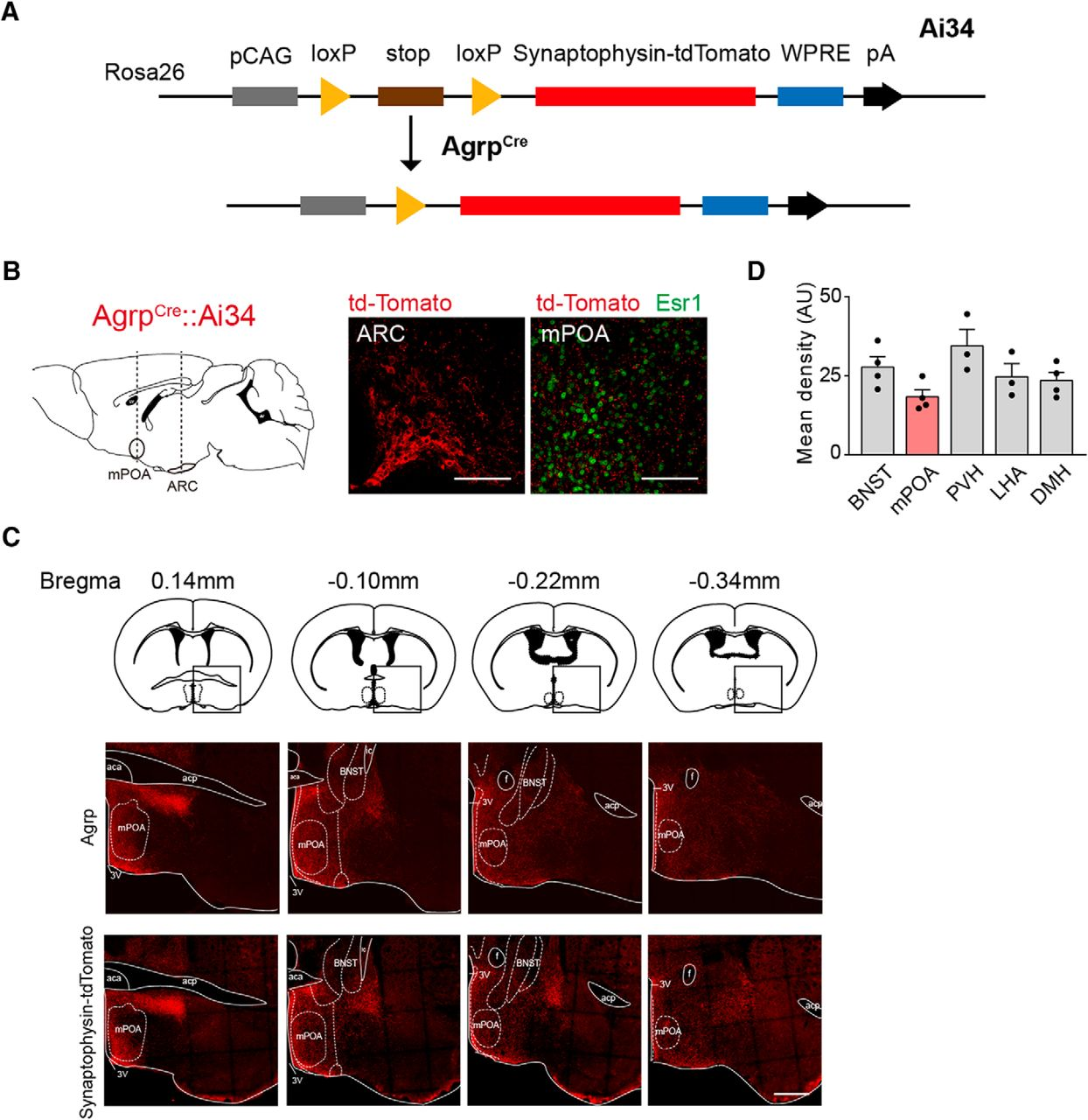 AGRP Neurons Project to the Medial Preoptic Area and