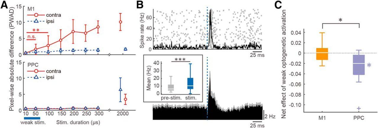 Ipsilateral-Dominant Control of Limb Movements in Rodent Posterior