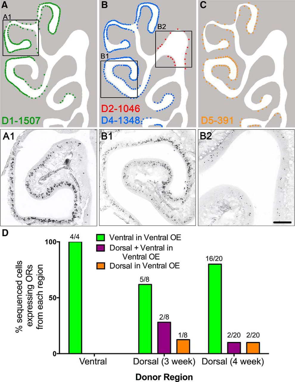 Spatial Determination of Neuronal Diversification in the