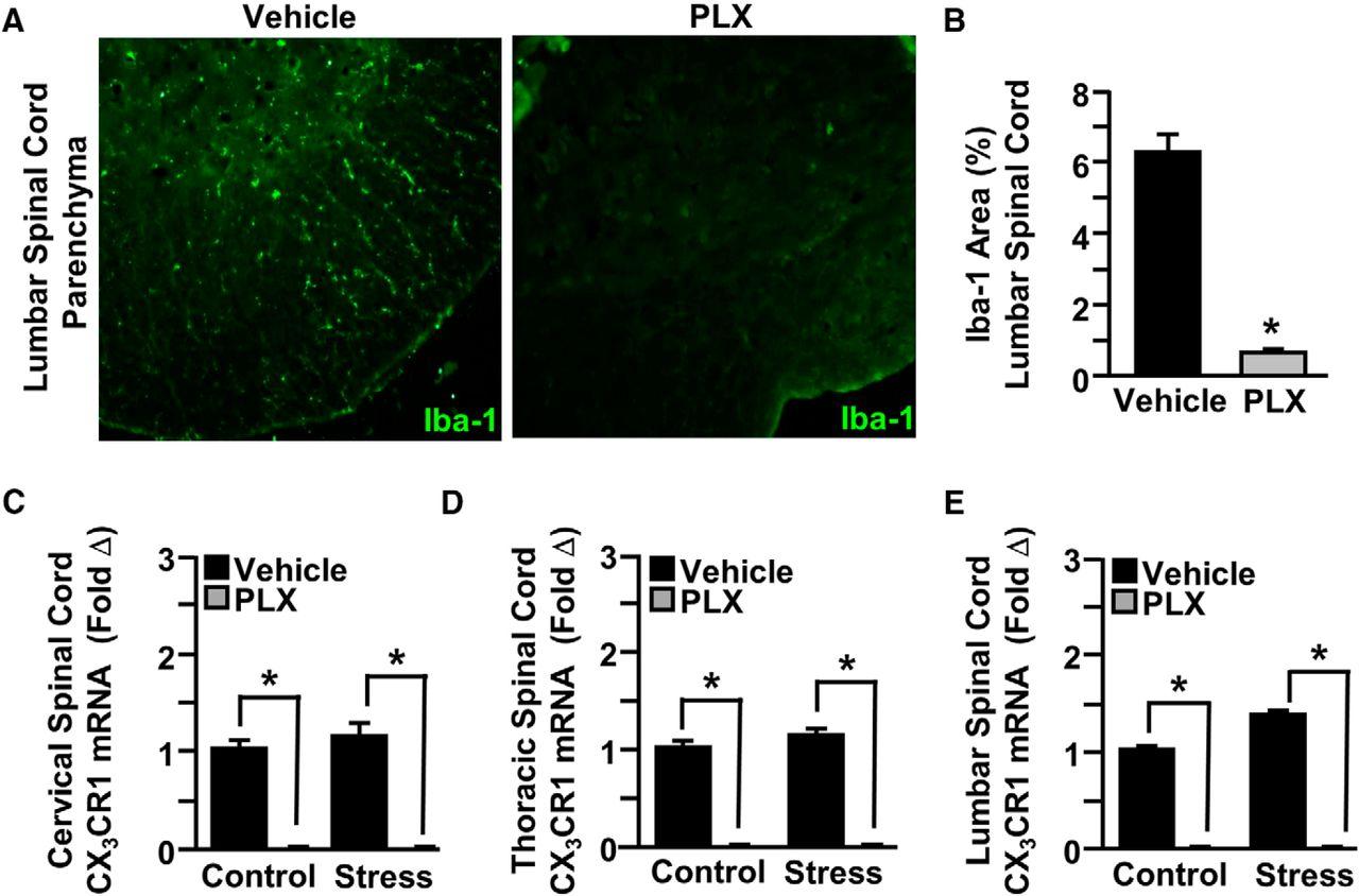 Microglia Promote Increased Pain Behavior through Enhanced