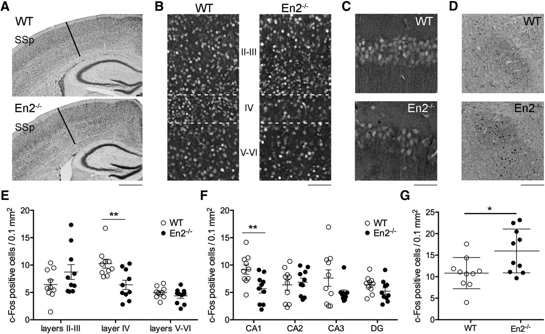 Aberrant Somatosensory Processing and Connectivity in Mice