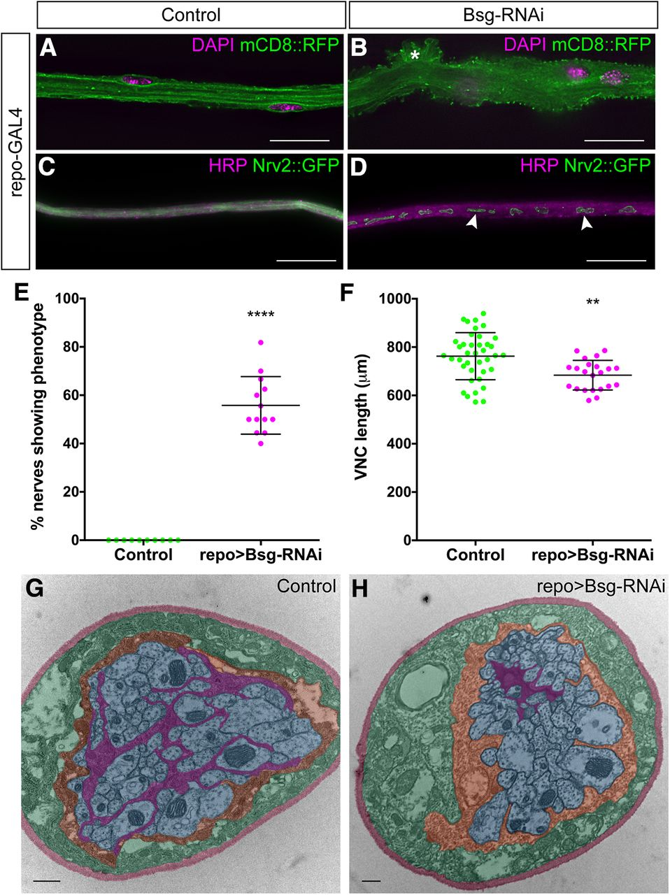 Basigin Associates With Integrin In Order To Regulate Perineurial Glia And  Drosophila Nervous System Morphology | Journal Of Neuroscience